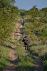 A lone buffalo